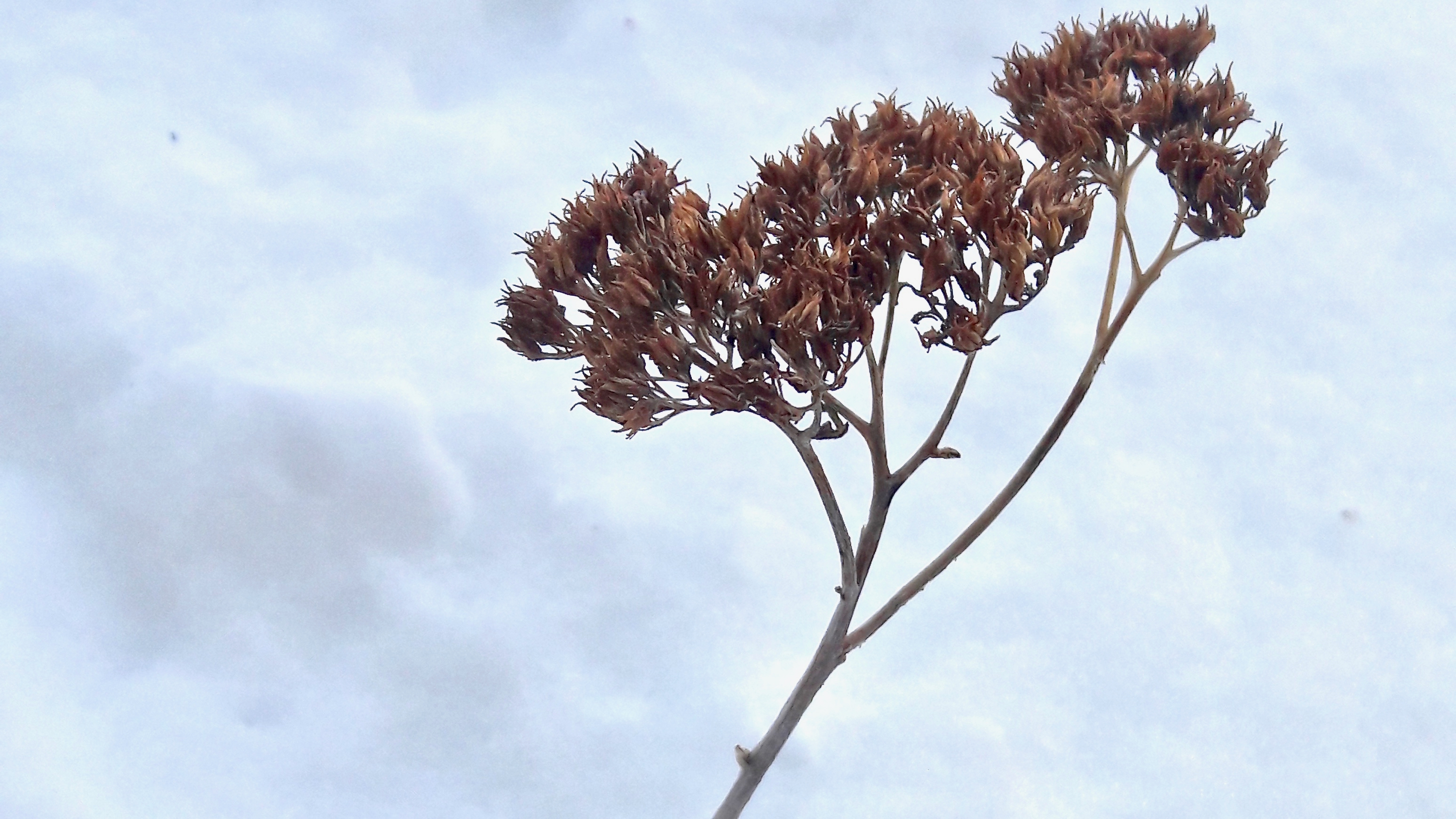 Native plant in snow