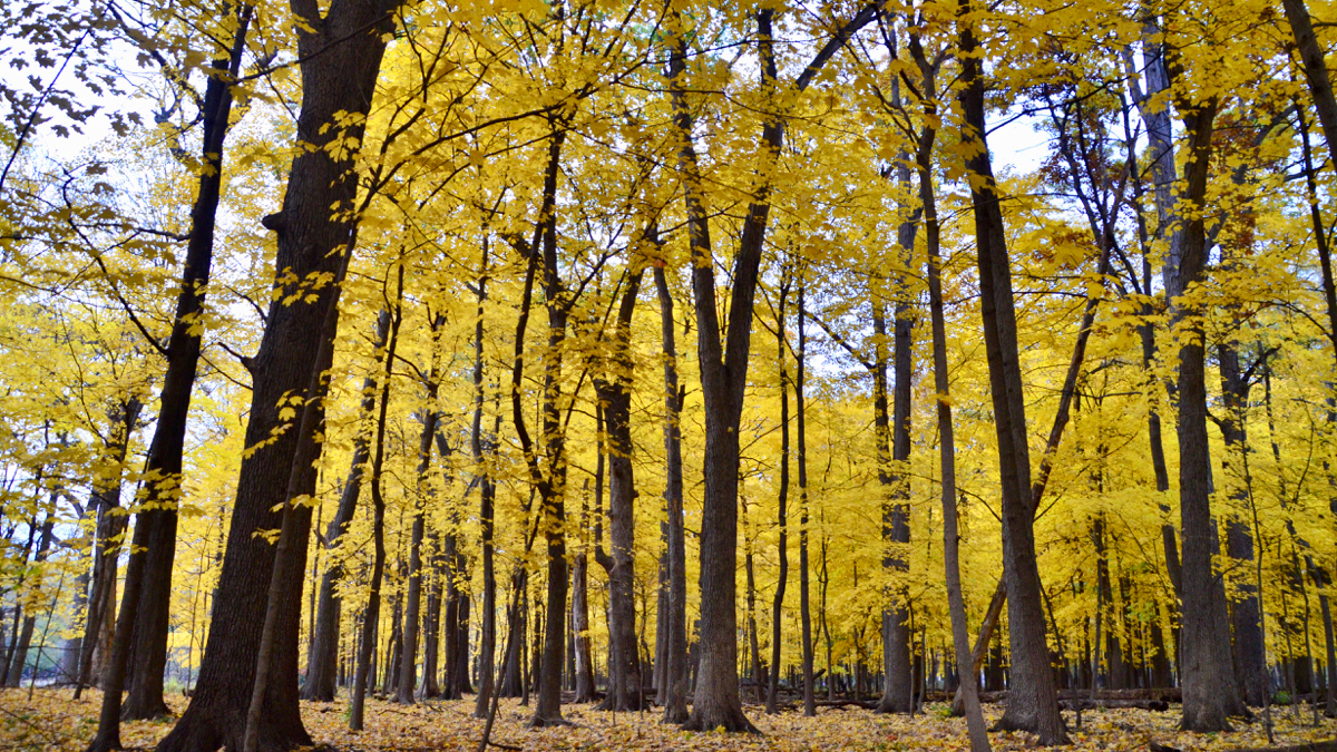 maple trees in Thatcher Woods